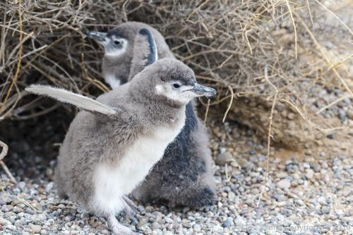 DSC6197 À Punta Tombo  Bébés Pinguoins