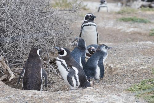 DSC6226 À Punta Tombo Pinguoins