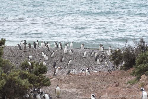 DSC6253 Colonie de pingooins  À Punta Tombo