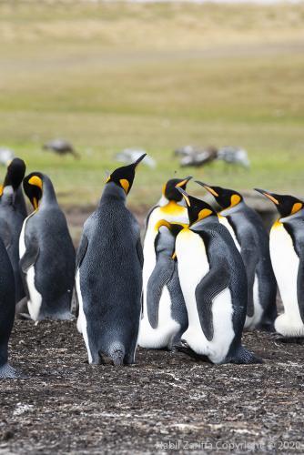 DSC6273 Pingouins Roi aux Malouines