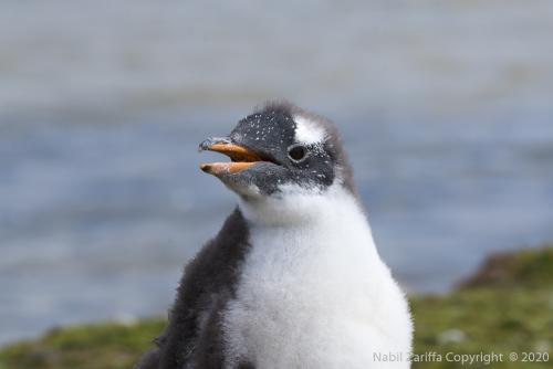 DSC6287 Bébé Pingouin aux Malouines