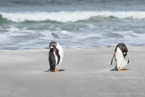 DSC6310 Pingouins aux Malouines