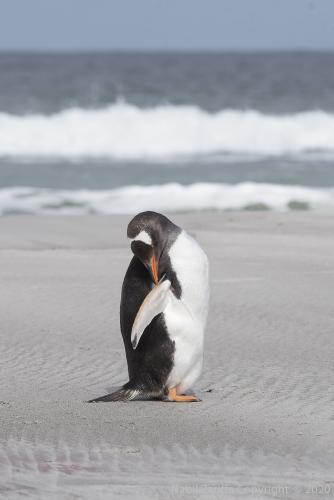 DSC6315 Pingouin Royal aux Malouines